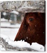 Red Milking Devon Snowflakes Acrylic Print