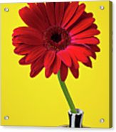Red Mum Against Yellow Background Acrylic Print