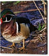 Red Nose Duck Acrylic Print
