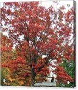 Red Oak 2 Acrylic Print