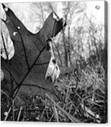 Red Oak Leaf Four Acrylic Print