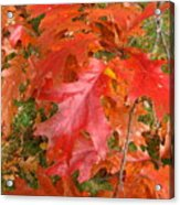 Red Oak Leaves Acrylic Print