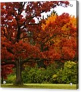Red Oak Acrylic Print