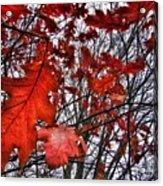 Red Oaks Acrylic Print