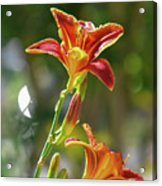 Red Orange Day Lilies I Acrylic Print