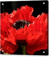 Red Orange Oriental Poppy Acrylic Print