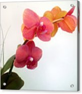 Red Pink Golden Orchid Flowers 03 Acrylic Print