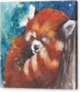 Red Panda Sleeping Acrylic Print