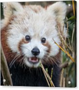 Red Panda Wonder Acrylic Print