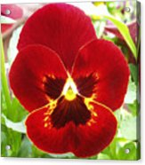 Red Pansy Acrylic Print
