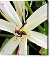 Red Paper Wasp And Spider Lily 000 Acrylic Print