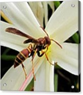Red Paper Wasp And Spider Lily 001 Acrylic Print