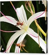 Red Paper Wasps And Spider Lily Acrylic Print