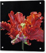 Red Parrot Tulip - Oils Acrylic Print