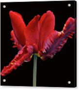 Red Parrot Tulip Acrylic Print