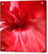 Red Passion 2 Acrylic Print