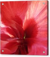 Red Passion 3 Acrylic Print