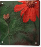 Red Passion... Acrylic Print