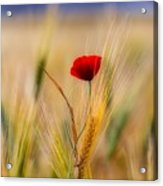 Red Passion Acrylic Print