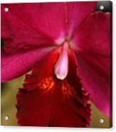 Red Passion Orchid Acrylic Print