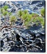 Red Pine Acrylic Print