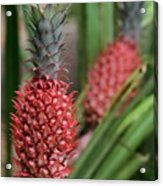 Red Pineapples Acrylic Print