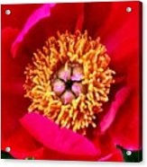 Red Pink Flower Center.  Close-up Center Acrylic Print