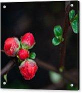 Red Plum Flowers In Rain Acrylic Print