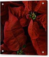 Red Poinsettia Acrylic Print by Ann Garrett