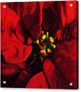 Red Poinsettia Floral Art Acrylic Print
