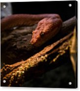 Red Poisonous Snake Acrylic Print