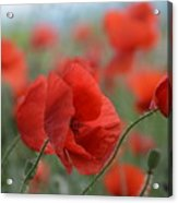 Red Poppies Blooming Acrylic Print