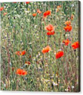 Red Poppies In A Summer Sun Acrylic Print