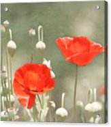 Red Poppies Acrylic Print by Kim Hojnacki