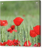 Red Poppy Flower And Green Wheat Nature Spring Scene Acrylic Print