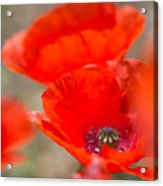 Red Poppy For Remembrance Acrylic Print
