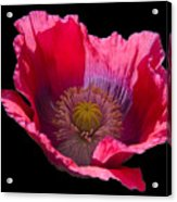 Red Poppy On Blk Velvet Acrylic Print