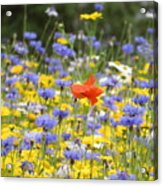 One Red Poppy Amongst The Wildflowers Acrylic Print