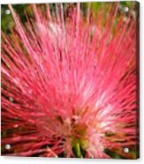 Red Powder Puff Tropical Flower Acrylic Print