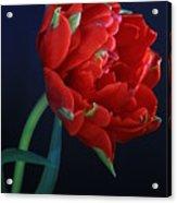 Red Princess Tulip On Blue Acrylic Print