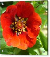 Red Red Bloom Acrylic Print