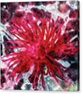 Red, Red... Flower Acrylic Print