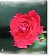 Red-red Rose. Acrylic Print