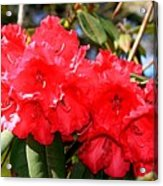 Red Rhodie Acrylic Print