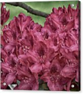 Red Rhodies Acrylic Print