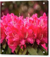 Red Rhododendron Flowers At Floriade, Canberra, Australia. Acrylic Print