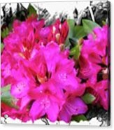 Red Rhododendron Flowers Acrylic Print