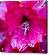 Red Rhododendron Acrylic Print by Frank Tschakert