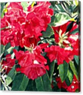 Red Rhododendrons Of Dundarave Acrylic Print by David Lloyd Glover