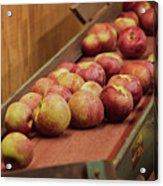 Red Ripe Macintosh Apples Acrylic Print